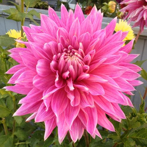 Hollyhill Big Pink Dahlia